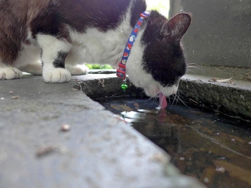 溜り水を飲む黒白猫3