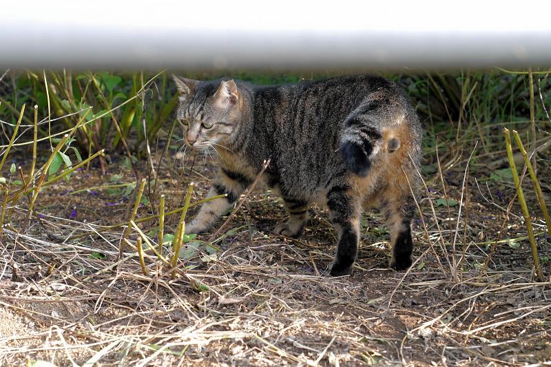 手すりの向こうのキジトラ猫1
