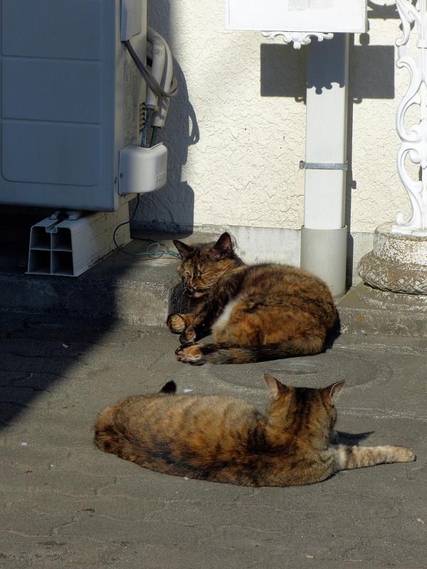 白壁とサビ柄猫2匹1