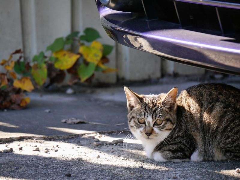車の下のキジ白猫と茶トラ猫1
