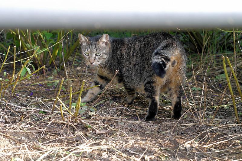 手すりの向こうのキジトラ猫2