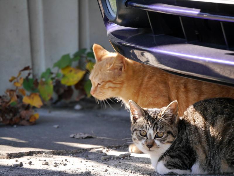 車の下のキジ白猫と茶トラ猫2
