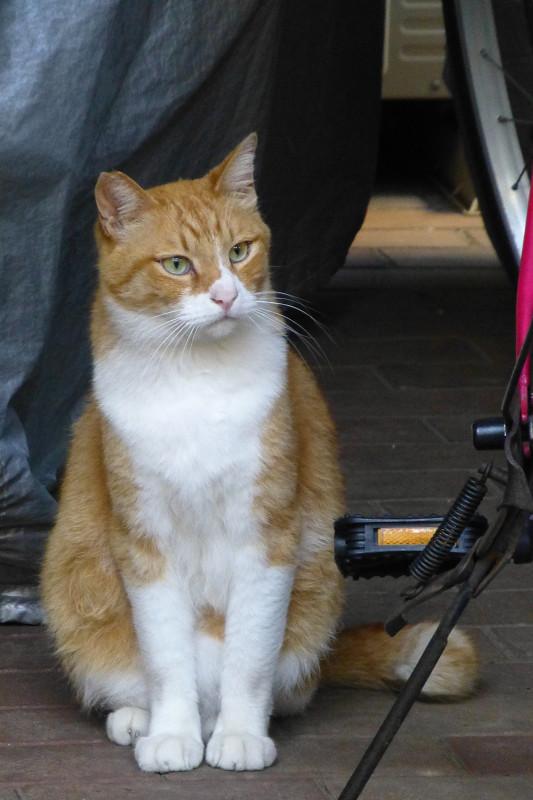 自転車と茶白猫1