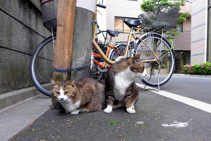 道の上のキジ白猫たち1