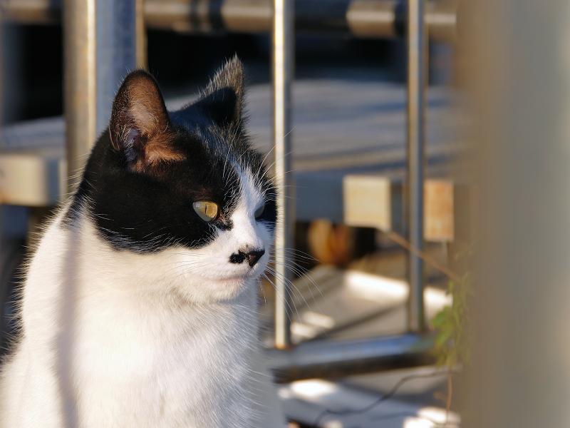 柵と白黒猫1