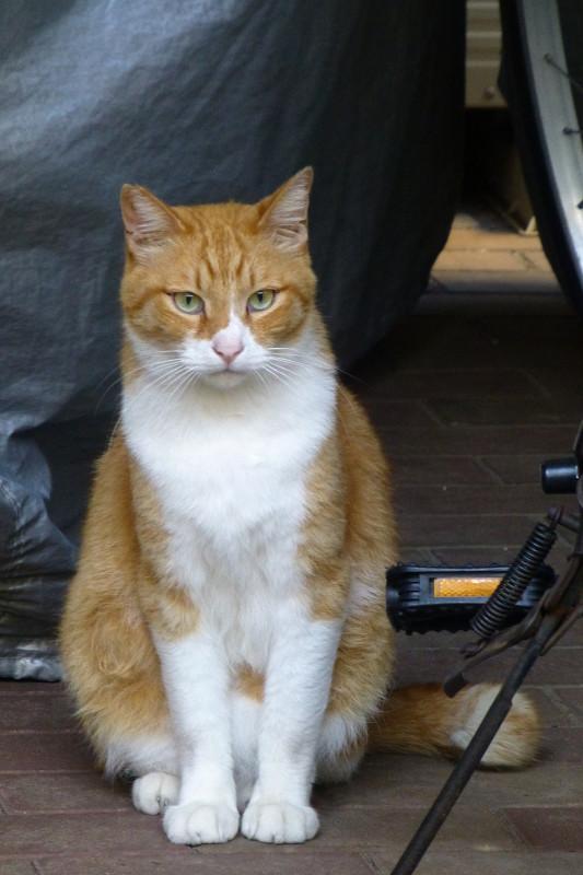 自転車と茶白猫2