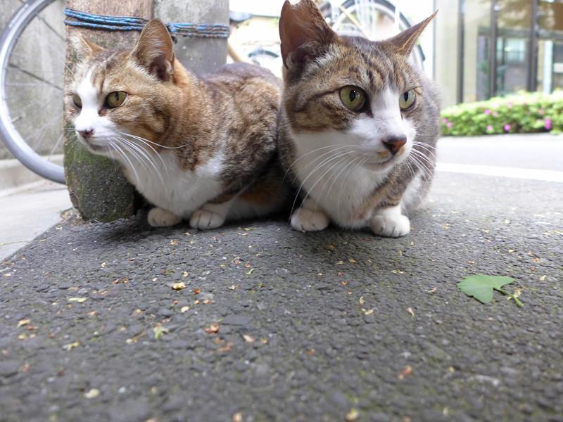 道の上のキジ白猫たち2