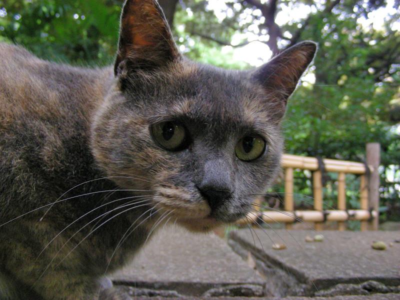 岩から降りたサビ柄猫2
