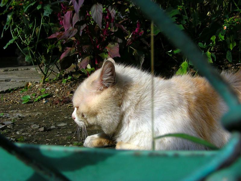 土の上の白茶猫2