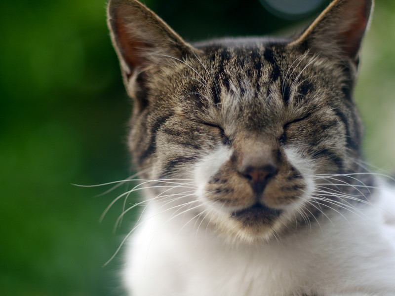 眠くなってきたキジ白猫3