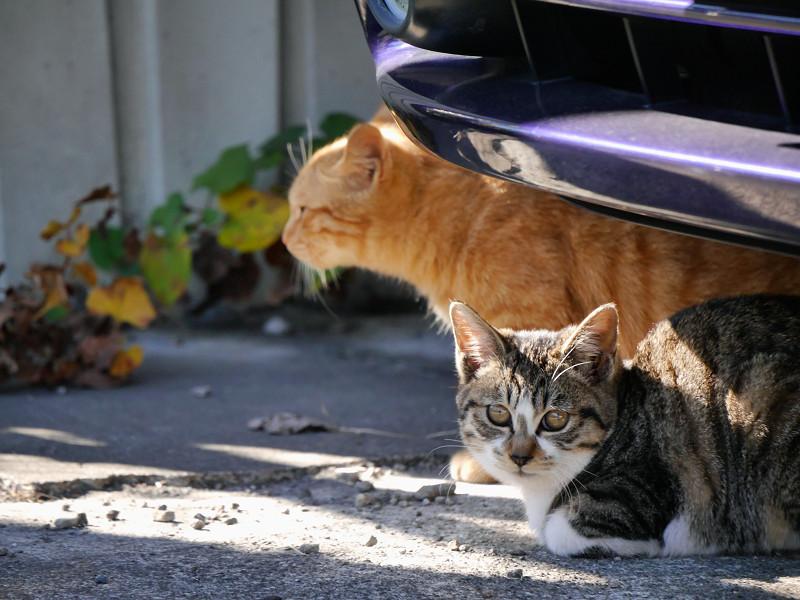 車の下の茶トラ猫とキジ白猫1