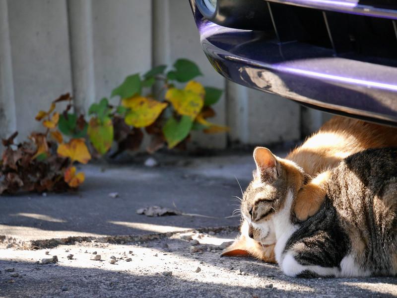 車の下の茶トラ猫とキジ白猫2