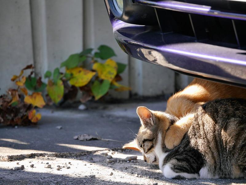 車の下の茶トラ猫とキジ白猫3