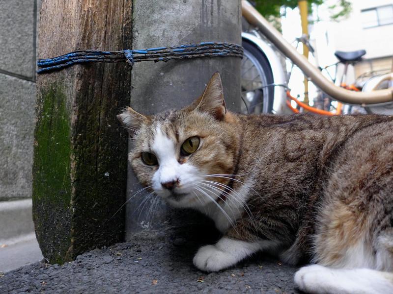 路上のキジ白猫1