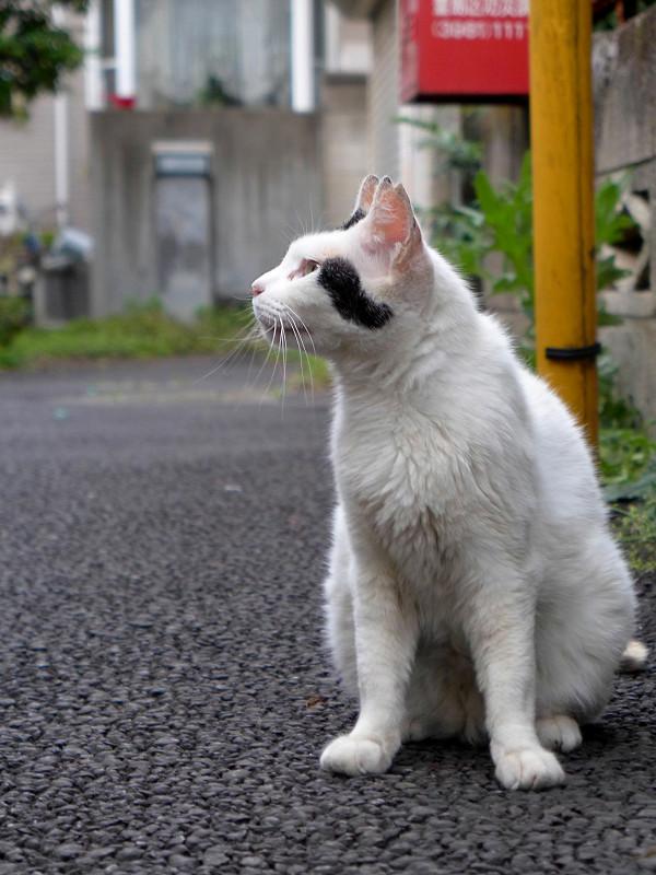 ブロック塀を見上げている白黒猫3