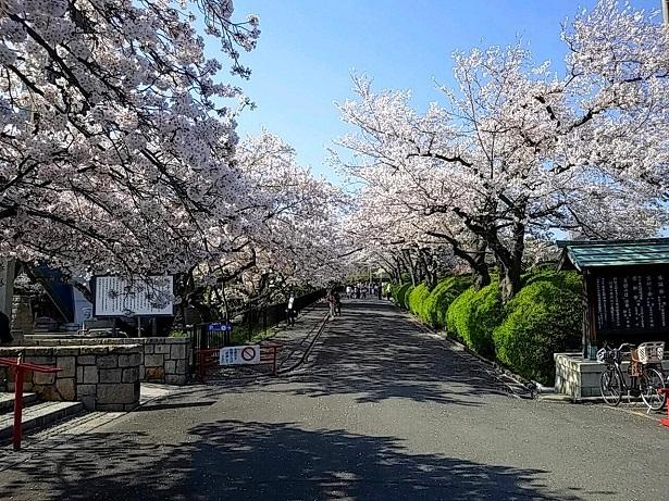 1 弁天さんの桜20200404