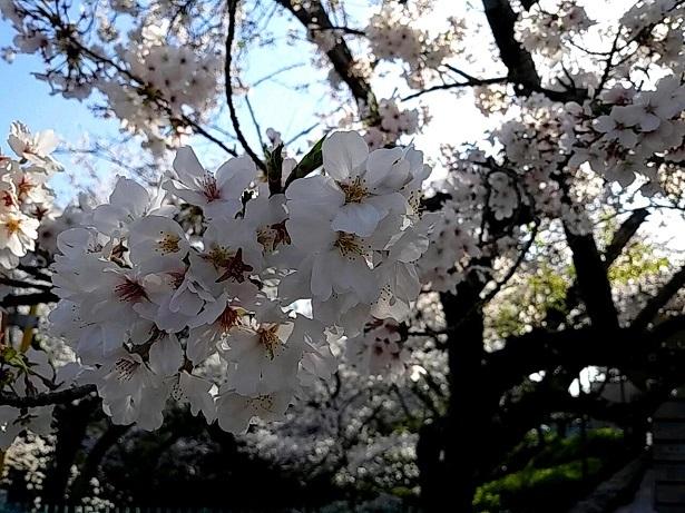 3 弁天さんの桜20200404
