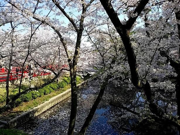 4 弁天さんの桜20200404