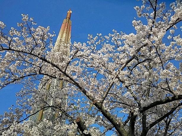 5 弁天さんの桜20200404