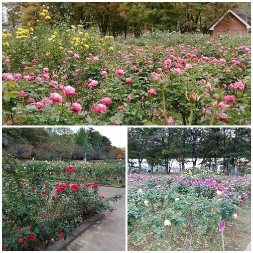 秋薔薇与野公園