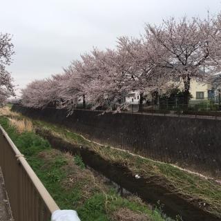 2020_三沢川の桜_01