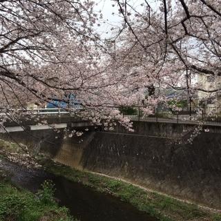2020_三沢川の桜_02