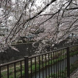 2020_三沢川の桜_04