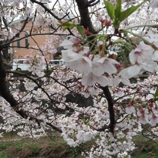 2020_三沢川の桜_05