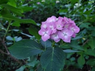 妙楽寺の紫陽花08
