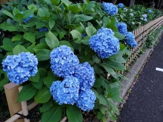 妙楽寺の紫陽花10
