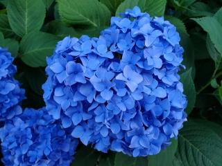妙楽寺の紫陽花11