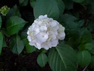 妙楽寺の紫陽花01