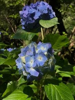 浄慶寺の紫陽花_02