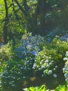 浄慶寺の紫陽花_03