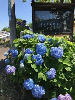 浄慶寺の紫陽花_00