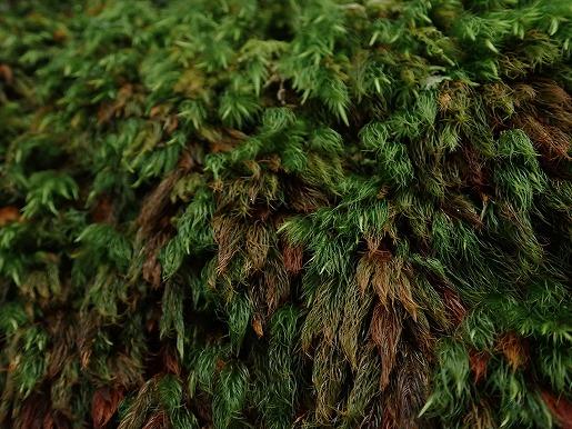 8月 雨の当たった苔