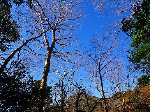 落葉した木々と青空