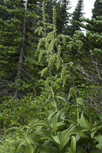 blog TAKE83, Mt. Rainier, Skyline Trail, Corn Lily, WA_25913-7.30.07.jpg