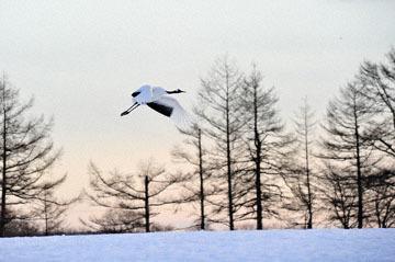 blog (6x4@300) Yoko 2 Tancho, Sanctuary, Kushiro 2_DSC4868-1.21.19.jpg