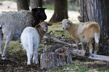 blog 51 Ochoco NF, Goats & Sheep, OR_DSC1722-5.24.18.jpg