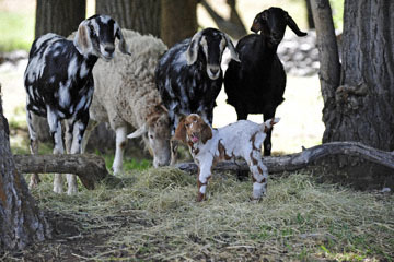 blog 51 Ochoco NF, Goats & Sheep, OR_DSC1695-5.24.18.jpg