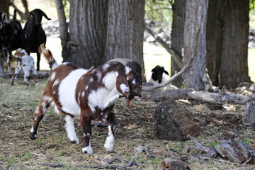 blog 51 Ochoco NF, Goats & Sheep, OR_DSC1679-5.24.18.jpg