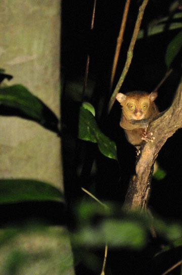 blog (4x6@300) Yoko Western Tarsier, Borneo Rainforest Lodge 2_DSC9874-5.25.10 (2).jpg