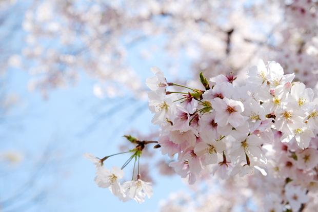 2020年4月・桜①