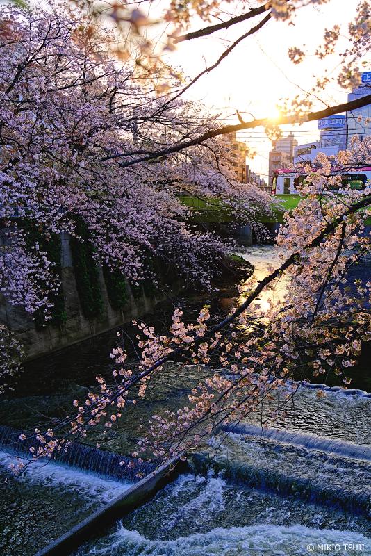 絶景探しの旅 - 絶景写真 No.12761276 夕日の桜と神田川の風景 (東京都 豊島区)