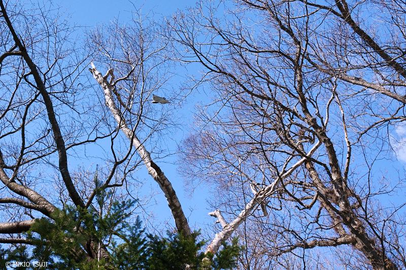 絶景探しの旅 - 絶景写真No.1303 滑空するエゾモモンガ (北海道 網走市 駒場)