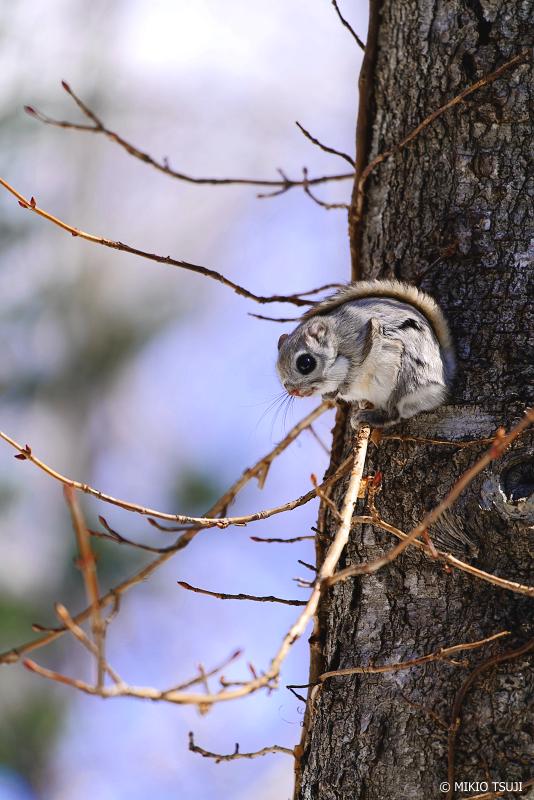 絶景探しの旅 - 絶景写真No.1304 無事に着木できたエゾモモンガ (北海道 網走市 駒場)