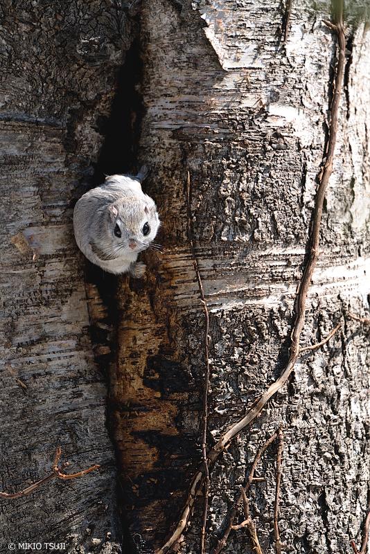 絶景探しの旅 - 絶景写真No.1302 よいしょ、穴から出るモモンガ (北海道 網走市 駒場)