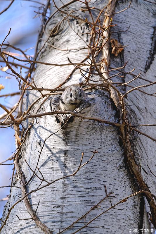絶景探しの旅 - 絶景写真No.1310 ハートの樹洞からスマイルのエゾモモンガ (北海道 網走市 駒場)