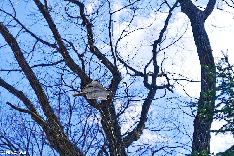 絶景探しの旅 - 絶景写真No.1309 スーッと空飛ぶエゾモモンガ (北海道 網走市 駒場)